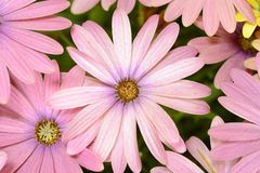 Pink and yellow daisies. Isolated royalty free stock image