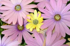 Pink and yellow daisies. Isolated stock photo