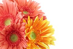 Pink and yellow daisy Royalty Free Stock Photo