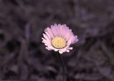 Pink and Yellow Daisy Flower royalty free stock photo
