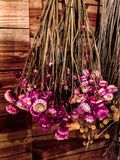Pink and yellow dried flowers hanging upside down on a wooden wall stock photography