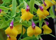 Pink yellow Epicattleya Rene Marques Flame Thrower Orchid flower. In bloom Stock Photography