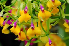 Pink yellow Epicattleya Rene Marques Flame Thrower Orchid flower. In bloom Royalty Free Stock Photos