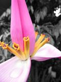 Pink and yellow flower Royalty Free Stock Photo