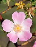 Pink and yellow flower of dog-rose Stock Images