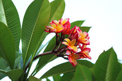 Pink yellow flower frangipani, isolated green background Stock Image