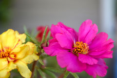 Pink & Yellow flower. Small pink & yellow flowers carry such beauty Stock Photos