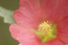 Pink on yellow. Pink flower with a yellow stamen Stock Images