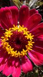 Pink and Yellow Flower. Pink yellow flower zinnia garden nature light shadows color beauts details stock photos