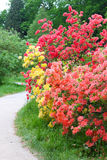 Pink and yellow flowering bushes near pathway Royalty Free Stock Image