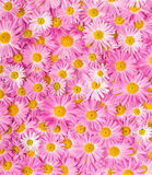 Pink and yellow flowers Royalty Free Stock Photos
