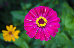 Pink and yellow flowers. Pink and yellow flowers in garden Stock Photo