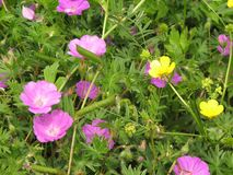 Pink and yellow flowers on a meadow. stock photo