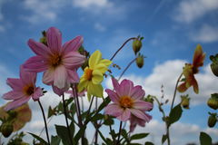 Pink and yellow flowers planted in old coal Truck with blue sky Stock Photo
