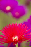 Pink and yellow flowers of succulent plant Stock Photos