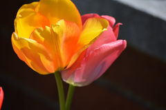 Pink and yellow flowers tulips Royalty Free Stock Image