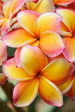 Pink and yellow frangipani flowers Stock Photography