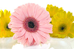 Pink Yellow Gerbera in beautiful full blossom on white, Selective Focus. Royalty Free Stock Images