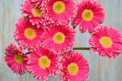 Pink yellow  gerbera daisies on grey old wooden shelves background with empty copy space Stock Photography
