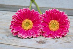 Pink yellow  gerbera daisies on grey old wooden shelves background with empty copy space Royalty Free Stock Image