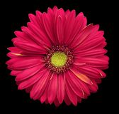 Pink-yellow gerbera flower, black isolated background with clipping path.   Closeup.  no shadows.  For design. Nature Stock Photo