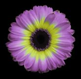 Pink-yellow gerbera flower black isolated background with clipping path. Closeup. no shadows. For design royalty free stock images