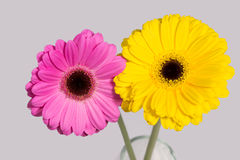 Pink and yellow gerbera on grey background. Royalty Free Stock Image