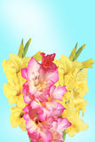 Pink and yellow gladiolus Stock Images