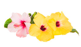 Pink and yellow hibiscus flowers Royalty Free Stock Images