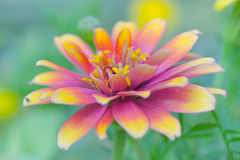 Pink and yellow hybrid Aster flower in Rama 9 (local name) natio Royalty Free Stock Photo