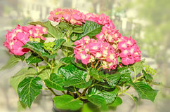 Pink with yellow Hydrangea flowers, hortensia petals close up Stock Photos