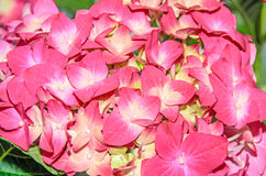 Pink with yellow Hydrangea flowers, hortensia petals close up Royalty Free Stock Image