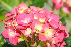 Pink with yellow Hydrangea flowers, hortensia petals close up Stock Image