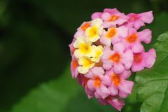 Pink and yellow lantana blossom. A pink and yellow lantana blossom  against a blurred green background with room for text to the left royalty free stock image