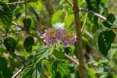 Pink and yellow Lantana camara flowers stock photography