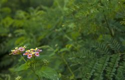 Pink and yellow lantana camara flowers in the garden royalty free stock images