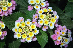 Pink and Yellow Lantana. Closeup of clusters of pink and yellow lantana flowers against deeply veined dark green leaves Royalty Free Stock Images