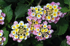 Pink and Yellow Lantana. Closeup of clusters of pink and yellow lantana flowers against deeply veined dark green leaves Stock Photo