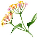 Pink yellow lantana floral botanical flower. Watercolor background set. Isolated lantana illustration element. Pink yellow lantana floral botanical flower. Wild stock illustration
