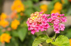 Pink and yellow Lantana flowers Royalty Free Stock Images