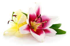 Pink and yellow lilies. Stock Photography