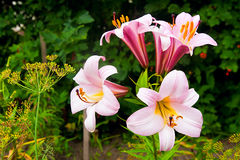 Pink and yellow lily blossoms. Royalty Free Stock Photos