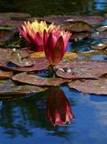 Pink and yellow lily pad flower. Dark pink lily pad flower with yellow center in the fountain of Santa Barbara Mission. A reflection of the flower is seen Royalty Free Stock Photo