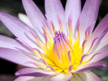 Pink and yellow lotus Stock Photography