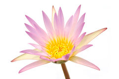 Pink and yellow lotus flower Stock Photography