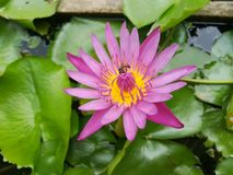 Pink and yellow lotus flower royalty free stock photography