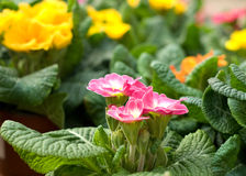Pink and yellow marigolds. Pink and yellow marigold flowers with green leaves in bloom royalty free stock photos