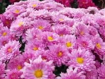 Pink Mums Royalty Free Stock Image