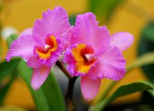 Pink yellow orchid flower Royalty Free Stock Image