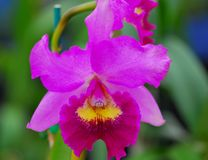 Pink yellow orchid flower Royalty Free Stock Photos